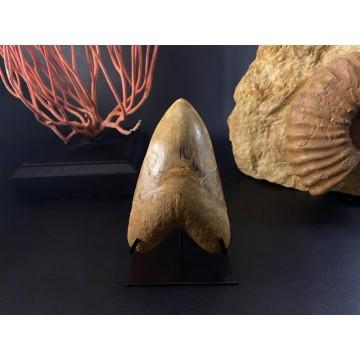 Huge Megalodon teeth