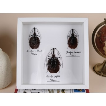 Violin Insects Mormolyce frame