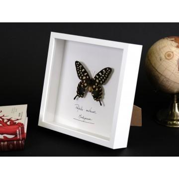 Papilio antenor in frame