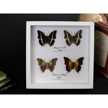 Charaxes brutus and...