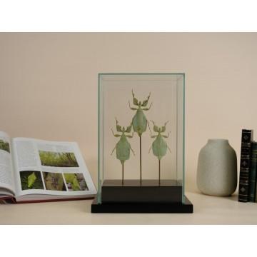 Phyllium celebicum - Leaf...