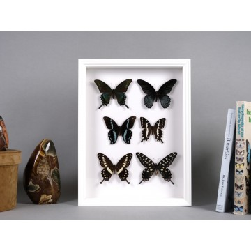 Papilio family frame