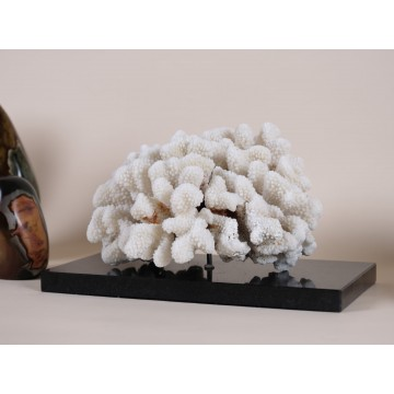 Pocillopora meandrina Coral