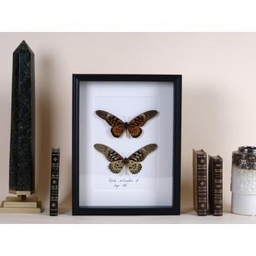 Papilio antimachus frame