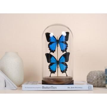 Papilio ulysses dome