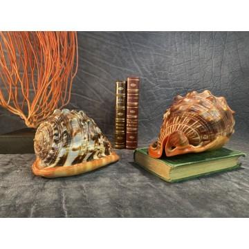 Big Cypraeacassis rufa