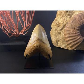 Beautiful Megalodon teeth