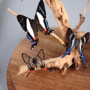 Handmade Glass dome displaying 🦋 Four Chorinea faunus from Bolivia, know as long tailed glass wing Two Rhetus arcius, from Peru  Two Ancyluris formosissima, from Peru.  Welcome to the beautiful butterfly world 🌎🦋 #beoneofakind   #chorineafaunus #rhetusarcius #ancylurisformosissima #boliviabutterfly #perubutterfly #butterflydecor #glassdome #mariposas #borboletas #decoracaoborboletas #butterflyworld #butterflylover #mariposasdecorativas #piezasunicas #handmade #oneofakind #uniquepieces #rarebutterfly #borboletasraras #beoneofakind