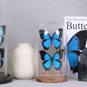 Electric Blue Butterflies ⚡️🦋  Between Morpho, Papilio and Prepona bring some electric blue shades into your home decor!   One of a kind handmade exclusive pieces 💥 #bespecial #beoneofakind   #morphoachilles #morphocisseis #morphopeleides #morphos #morphobutterfly #papilioulysses #papilio #papilioulyssesbutterfly #preponabutterfly #preponademophon #butterflies #butterflylover #butterflydecor #homedesign #domes #redomas #borboletas #mariposas #interiorismo #homedecor #decoração #decoracaoborboletas #homedecoration #decoration #borboletasdecorativas #oneofakind #naturalhistory #beoneofakind