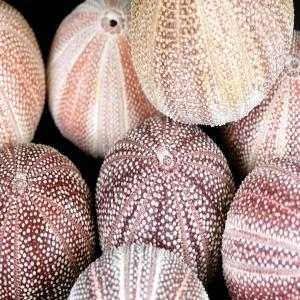 Cornish Sea urchin 🌊  Echinus esculentus, purple sea urchins, from Scotland and North Sea.   Big size urchins with beautiful textures and colors ⚡️ One of a Kind decor piece!   #cornishseaurchins #cornish #echinusesculentus #seaurchins #urchins #urchinlover #sealovers #seadecor #urchindecor #texture #color #decorpieces #designinterior #decoração #peçasdecorativas #homedecor #realurchins #beoneofakind