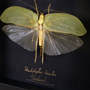 A outstanding Katydid 🦗Pseudophyllus hercules, from Thailand rainforest. This one is a giant measuring with the wingspan more than 22 cm. Mounted in a black wood frame.  Check our insects category in our website - link in bio! ⚡️  #katydid #pseudophyllus #pseudophyllushercules #thailand #insects #frame #insectsframe #moldura #insetos #insetosdecor #decor #homedecor #insectlovers #oneofakind #uniquepieces #pecasunicas #peçasraras #decoração #decoracionmolduras #beoneofakind #oneofakindframes