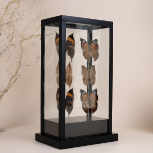 Special glass vitrine 🦋 with three Kalima inachus, from Thailand and three Salamis anteva, from Madagascar.  The two species named as Deadleaf butterflies, because when the wings closed they look like a dead leaf 🍂 and so predators don't catch them.   One of each butterfly is mounted showing from the back side position to show the similarity with a dead leaf.  #butterfly #kalimainachus #salamisanteva #butterflies #leafwing #butterflieslover #glassbox #glassvitrine #beoneofakind #thailandbutterfly #madagascarbutterfly #homedecor #uniquepieces #butterflydecor #decoração #decoracion #oneofakind #decorpieces #interiordesign